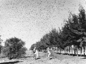 grasshopper-swarm-courtesy-university-of-minnesota